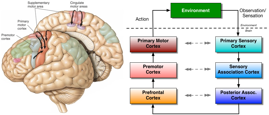 (Left) Motor brain areas. (Right) Biological perception-action loop.